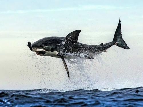tiburongaleriay